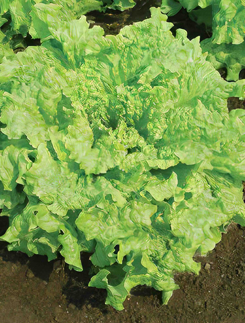 Vegetable Seeds/Lettuce/Leaf