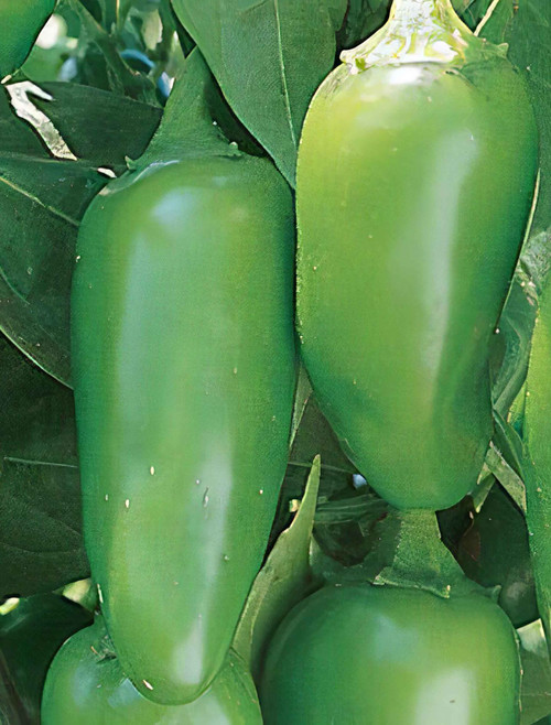 Jalapeno Early Hot Pepper Heirloom Seed