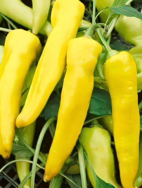 Sweet Banana Pepper Heirloom Seed