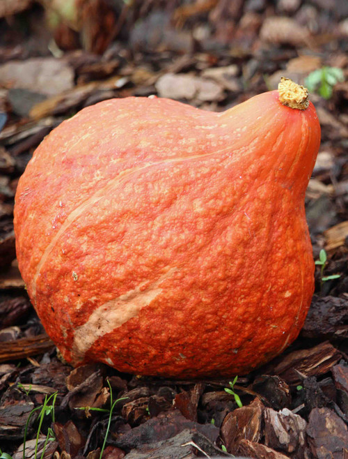 Golden Hubbard Winter Squash Heirloom Seed