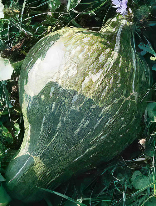 True Green Improved Winter Squash Heirloom Seed