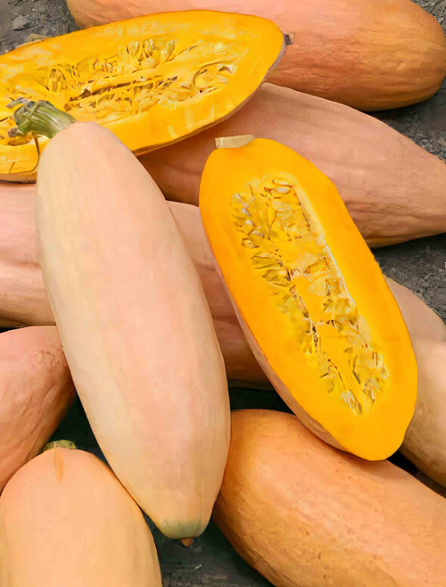 JUMBO Pink Banana Winter Squash Heirloom Seed
