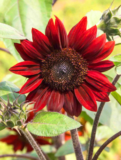 Velvet Queen Sunflower Heirloom Seed
