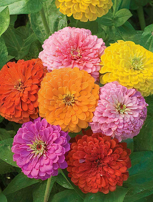 California Giant Zinnia Seeds