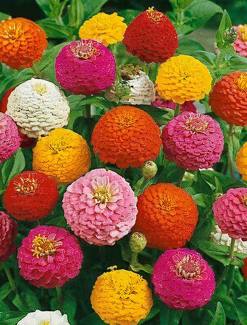 Flower Seeds/Zinnia