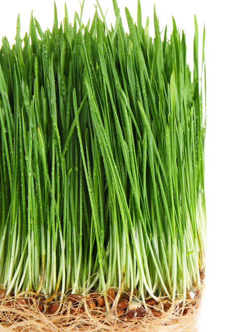 Wheatgrass seeds; Hard Red Winter Wheat