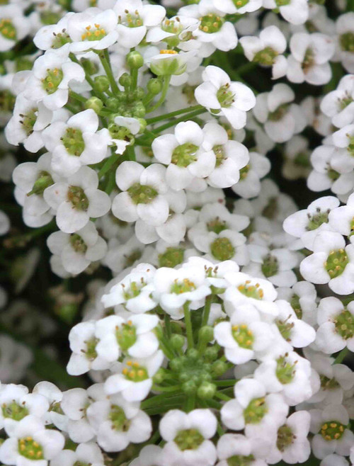 Flower Seeds/Baby's Breath