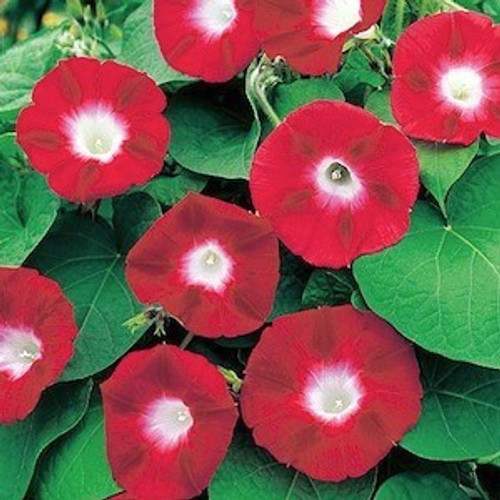 Morning Glory, Scarlet O'Hara Seed
