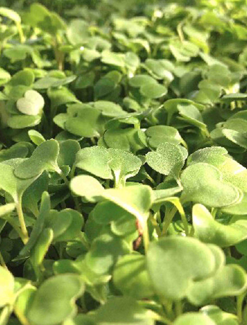 2.5 Pounds of Calabrese Broccoli Microgreen & Sprouting Seeds