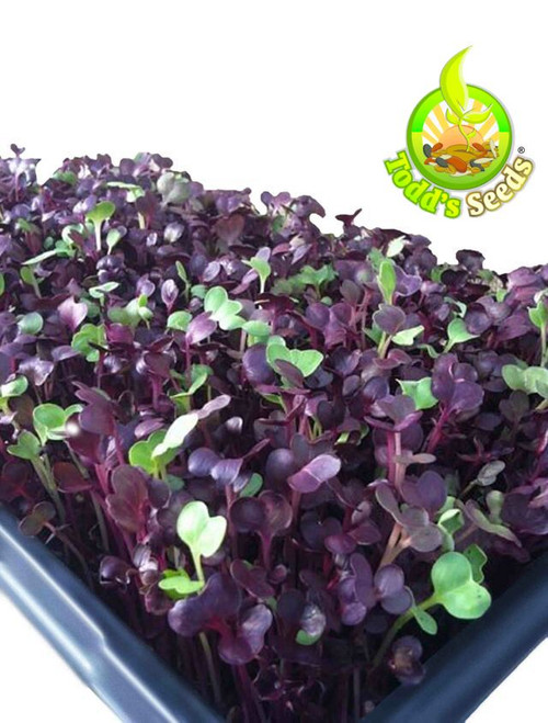 Rambo Sprouting Radish Seeds - Beautiful Red/Purple Colored Sprout