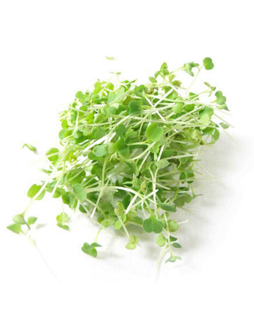 Arugula Seed for Sprouting and Microgreens