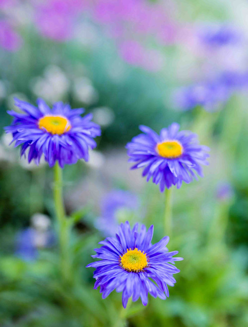 Flower Seeds/Aster (Callistephus Chinensis)