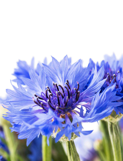 Bachelor Button Cornflower Dwarf Blue Jubilee Gem Seed