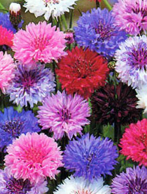 Bachelor Button (Centaurea Cyanus), Dwarf Polka Dot Mix Seed