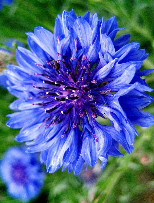 Bachelor Button (Centaurea cyanus), Tall Blue Seed