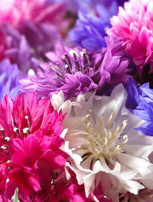 Flower Seeds/Bachelor Button (Centaurea Cyanus);ON SALE!