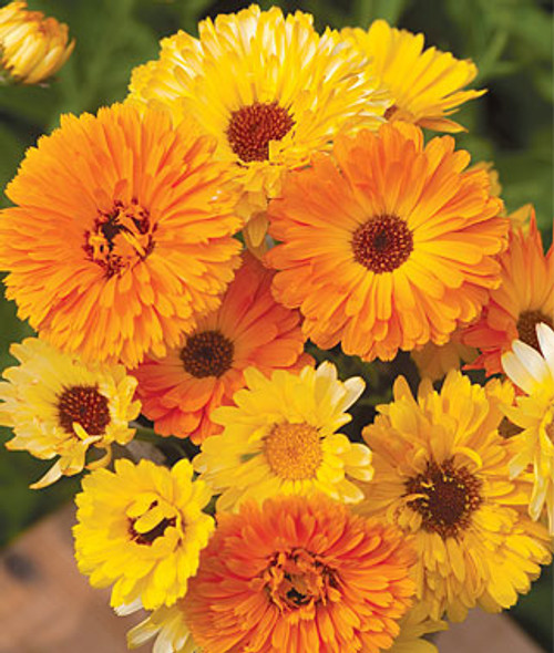 Calendula officinalis Pacific Beauty Mix Seed