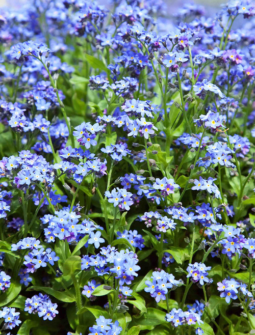 Chinese Forget-Me-Not (Cynoglossum Amabile) Seed
