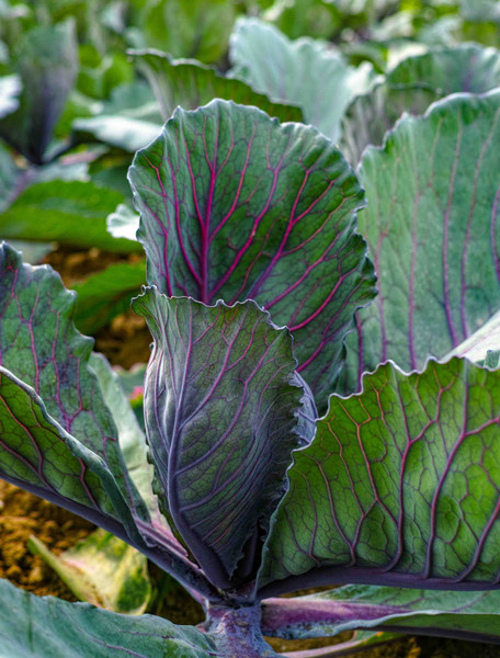 Red Acre Cabbage Seed