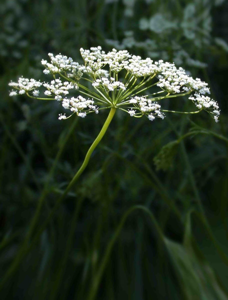 Anise Herb Seed