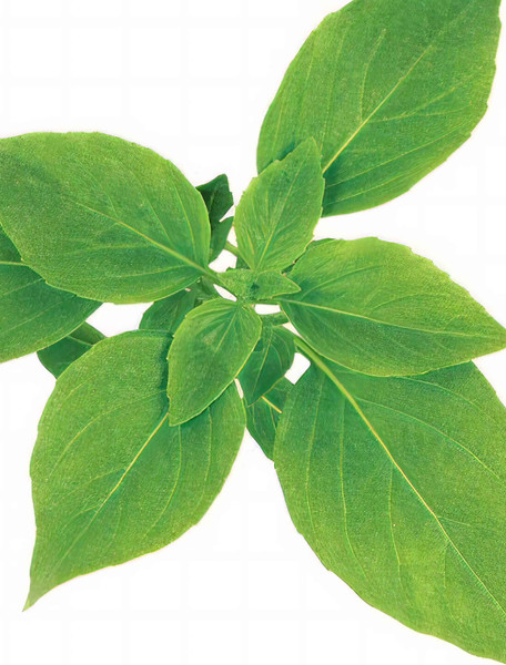 Basil, Anise Herb Seed