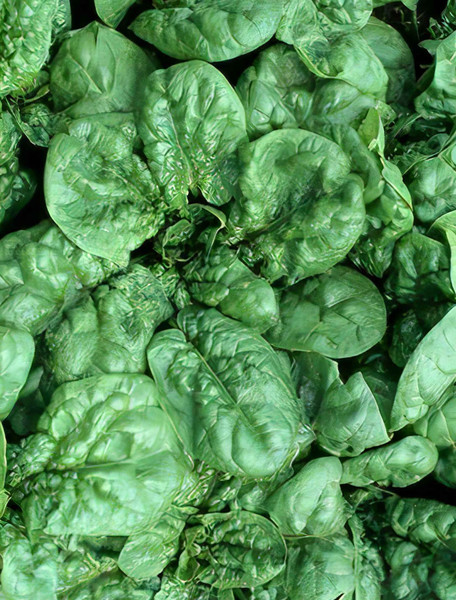 Bloomsdale Long Standing Spinach Heirloom Seed