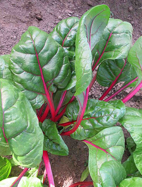 Perpetual Spinach Swiss Chard Heirloom Seed