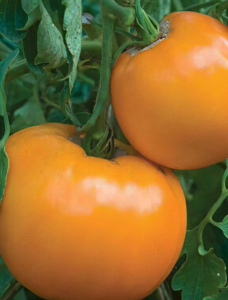 Jubilee Tomato Heirloom Seed