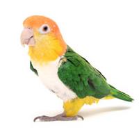 Caiques Parrot