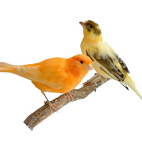 Canary and Finch