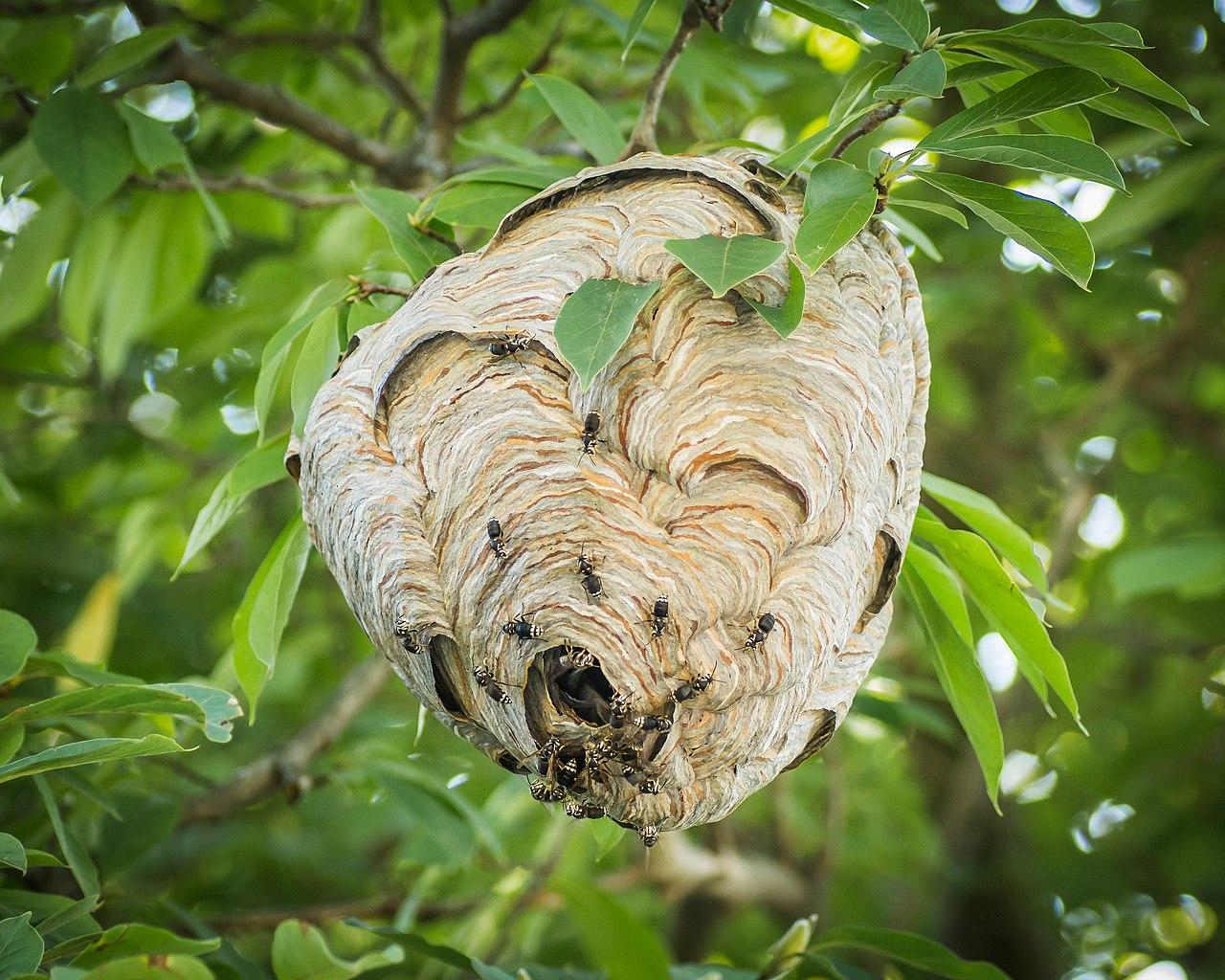 1280px-dolichovespula-maculata-bald-faced-hornet-nest.jpg