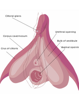 7 Amazing Facts About the Clitoris and 5 Best Clitoral Vibrators in 2021