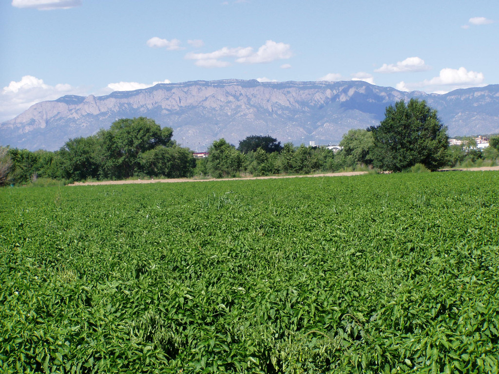 Fresh Green Chile - 1/2 Bushel - 12 lbs. Shipping begins on September 3, 2019