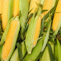 harvestsweetcorn.jpg