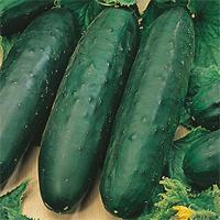 slicingcucumbers.jpg