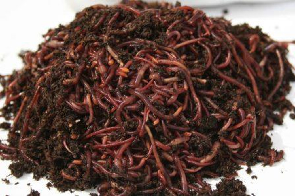 Composting Red Worms, 1 lb