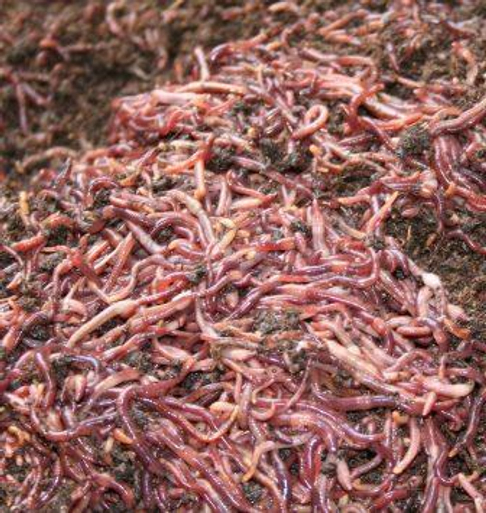 Composting Red Worms, 5 lbs