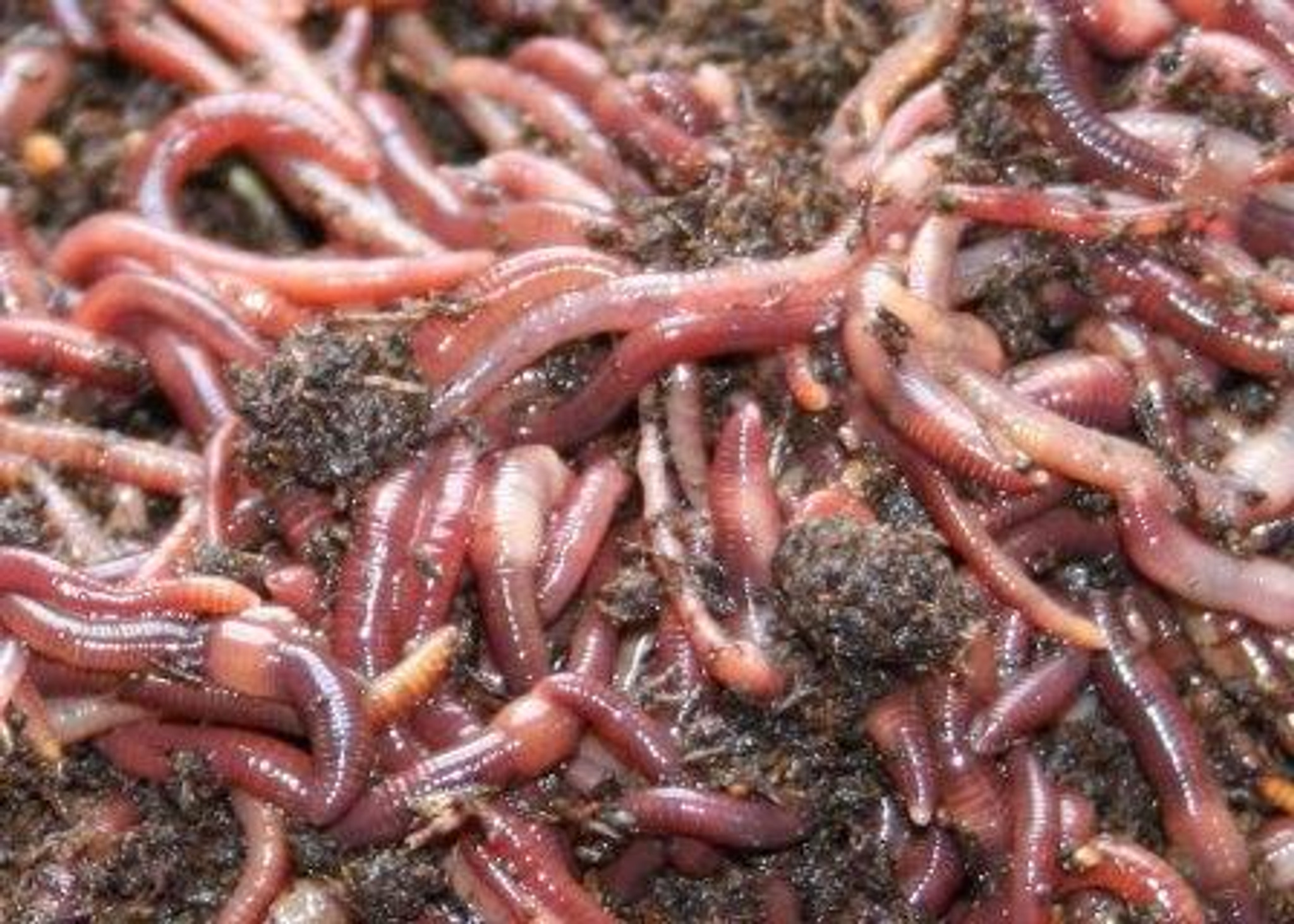 worms Wholesale Red Wiggler 4 pounds
