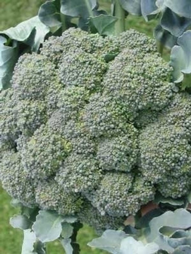 Broccoli, Waltham