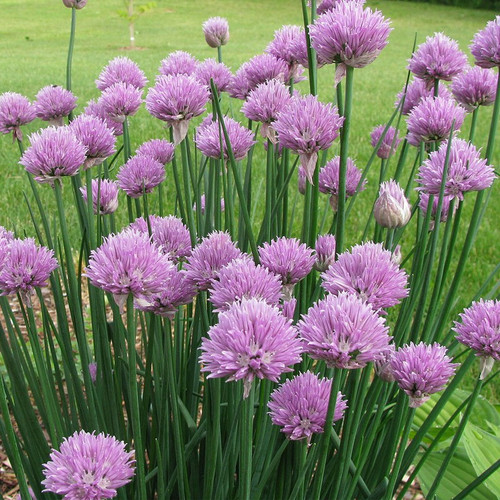Organic Onion Chives