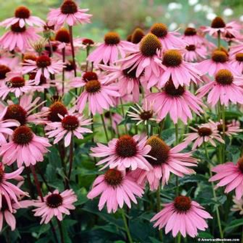 Purple Coneflower, Echinacea Purpurea