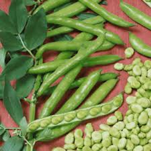 Organic Broad Windsor Fava Bean