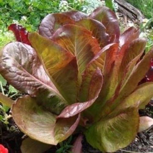 Organic Rouge de Hiver Lettuce