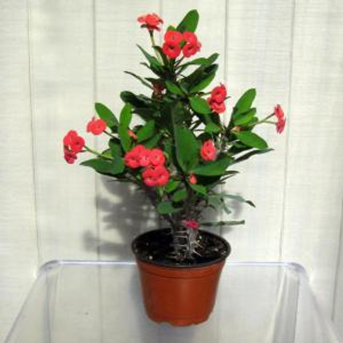 Red Crown of Thorns Euphorbia Milii Succulent