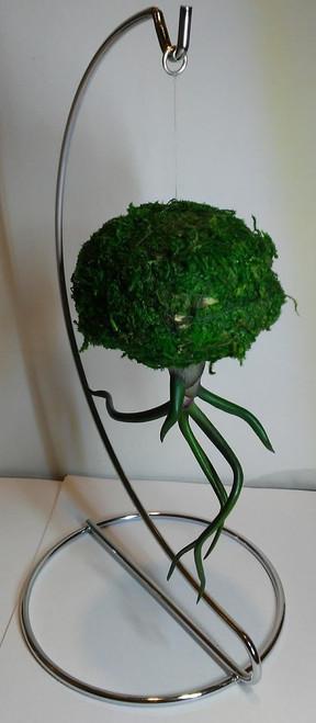 Jellyfish Air Plant Small