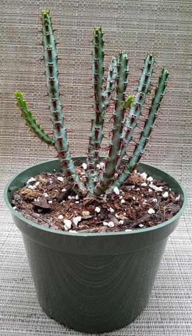 """Euphorbia Aeruginosa """"Miniature Saqurao """" Cactus"""