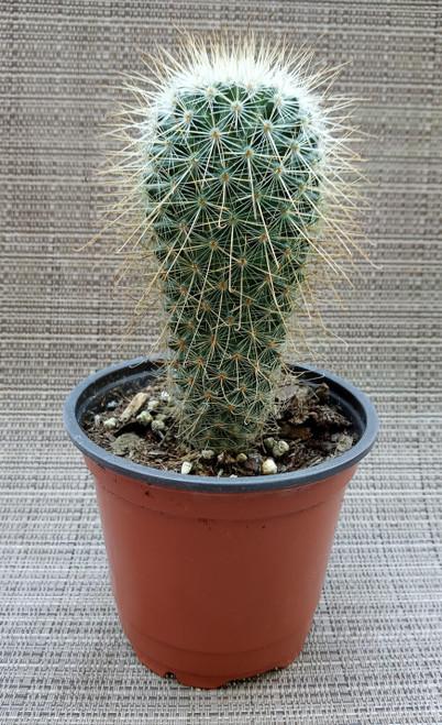 Mammillaria Boolii Cactus