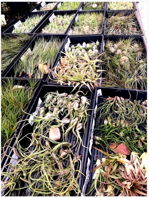 Air Plants - Tillandsia Variety of 10 Assorted