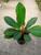 "Euphorbia Leuconeura ""Jewel of Madagascar"""