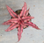 "Cryptanthus ""Ruby Star"" Bromelaid"